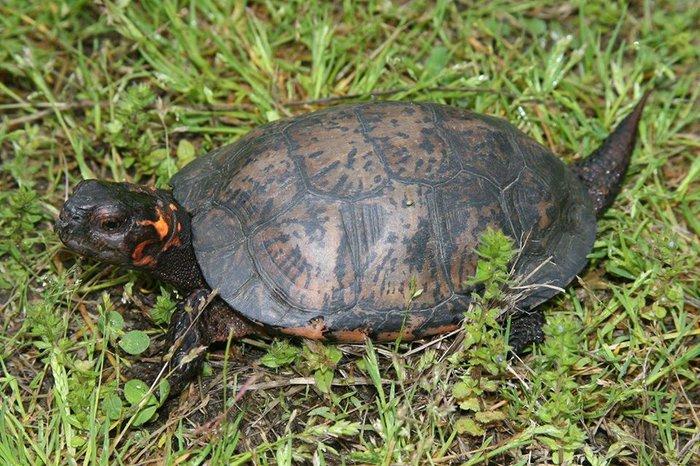 Bog Turtle.jpg