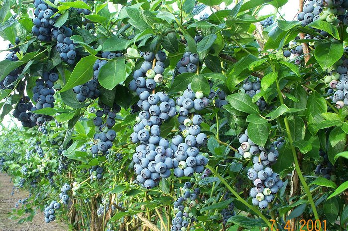 Perry's Berrys- Pick Your Own! Featured Image