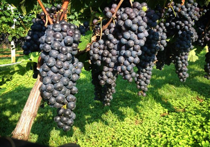 Silver-Fork-Grapes-On-The-Vine-landscape.jpg